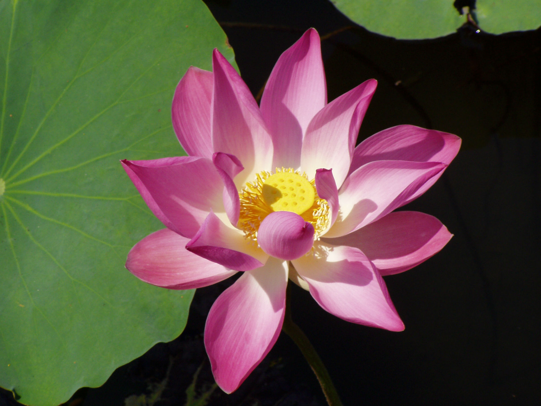 Lotus-Blüte / Foto: Michael Weigl