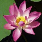 Lotus-Blüte / Foto: privat